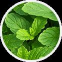 Olejek z mięty zielonej